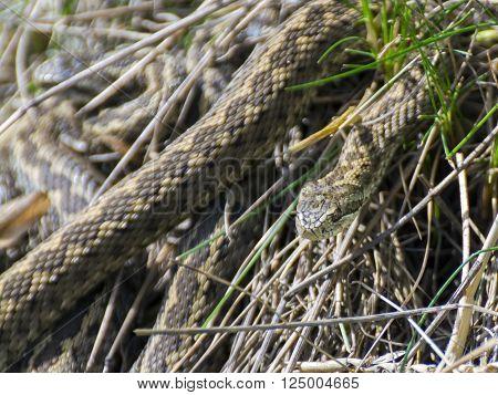 Hungarian meadow viper (Vipera ursinii rakosiensis) in the grass poster