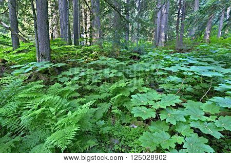 Lush green cold rain forest in Mount Revelstoke National Park Canada.
