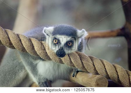 Close-up portrait of lemur catta (ring tailed lemur) ** Note: Visible grain at 100%, best at smaller sizes