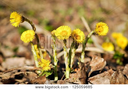 Flowering Tussilago farfara, commonly known as coltsfoot in the forest.