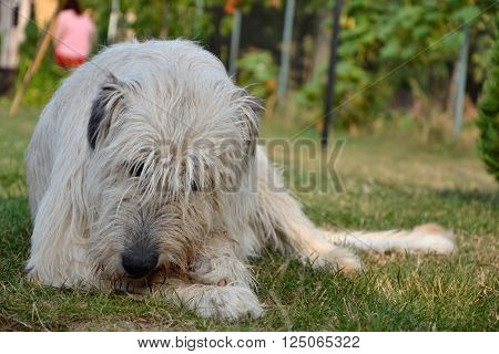 Lying Irish Wolfhound Dog Eats Bone On The Grass. The Dog Gnaws A Bone In The Garden On The Lawn