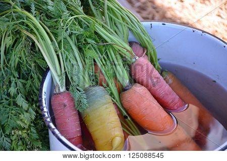 Multi-colored carrots soaking in an enameled pot