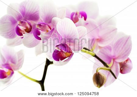 Pink Orchids in front of white background