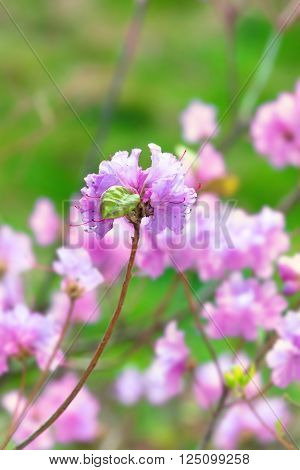 Closeup shot of Rhododendron dauricum flowers with dew dropsd on bokeh background of bushes in florescence