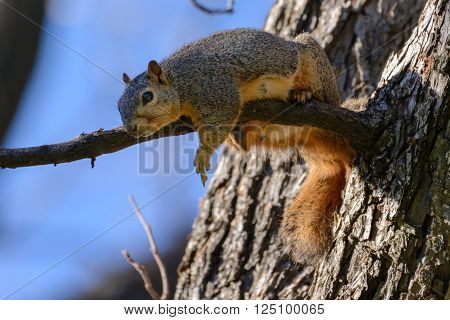 Comical funny Fox Squirrel laying on branch flipping off camera