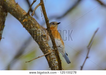 Vivid Northern Bluebird perched in Tree. Blue feathers, orange and white breast