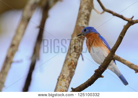 Vivid Bluebird perched in Tree. Blue feathers, orange and white breast
