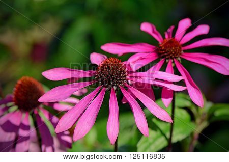Blossom Purple Coneflower On Natural Green Background.