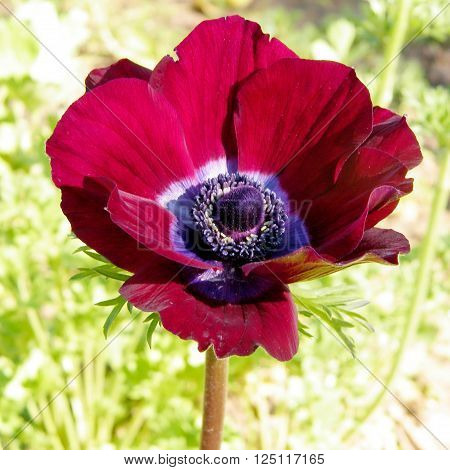 Red Crown Anemone flower isolated in park in Ramat Gan 6 February 2011 Israel