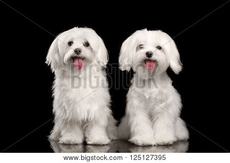 Two Happy White Maltese Dogs Sitting and Looking in Camera isolated on Black background