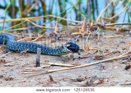 Grass snake (Natrix natrix) is eating its prey