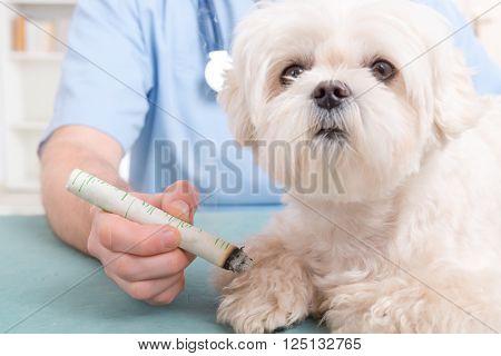 Vet doing moxa treatment on little dog poster