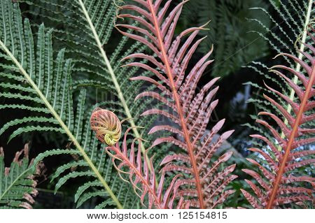 Green fern fronds and red fiddlehead uncurling