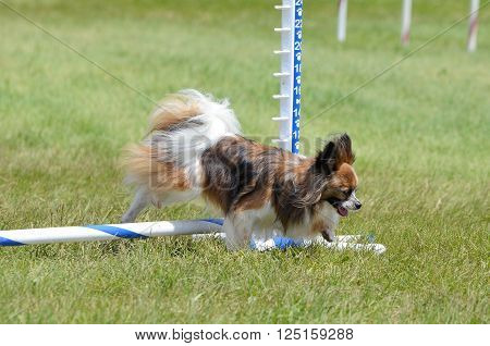 Papillon Leaping Over a Jump at a Dog Agility Trial