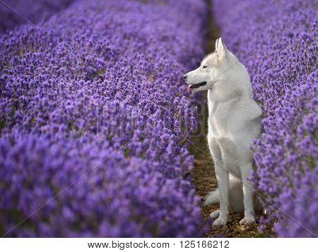 female Siberian Husky portrait in lavender field