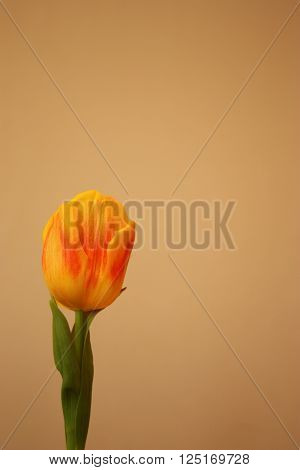 Isolated yellow tulip Tulipa Liliaceae, postcard, landscape view.