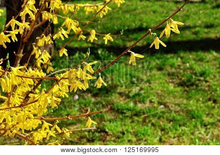 Blooming flowers of forsythia. Forsythia is a genus of flowering plants in the family Oleaceae - olive family. Spring natural sunny floral background
