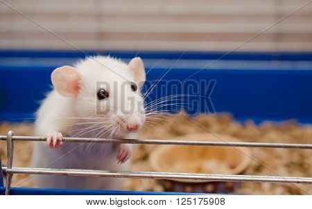 Funny white rat in a cage (selective focus on the rat eyes)