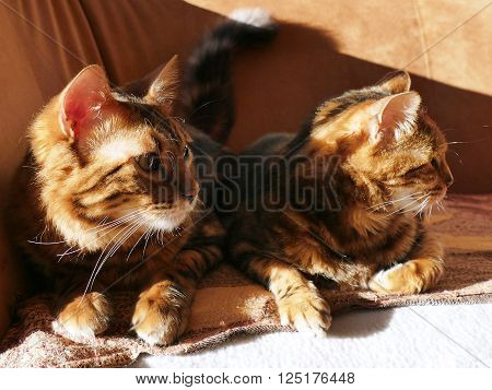 Bengal cat: Marble bengal cashmere cat and marble bengal cat ** Note: Shallow depth of field