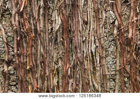 Twisted roots of tropical lianas on tree trunk background . Woody vegetation texture.