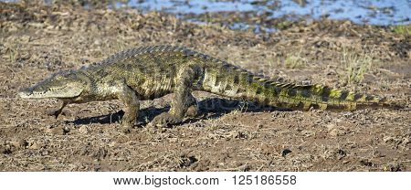 Crocodile walking on the shore of a lake to find a spot for resting in the sun
