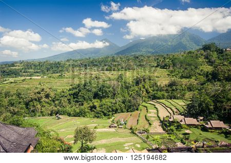 Rice paddy field close up in Ubud, Bali, Indonesia, Southeast Asia, Asia