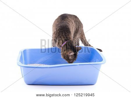 Brown tabby cat checking out her litter box, smelling it, on white