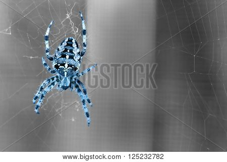 Blue colored spider spiders - A splendid garden spider against black white background
