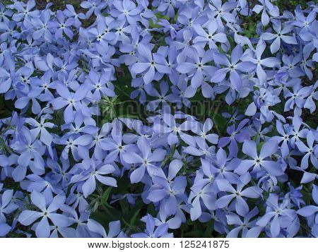 Vinca flowers, small blue early spring flowers