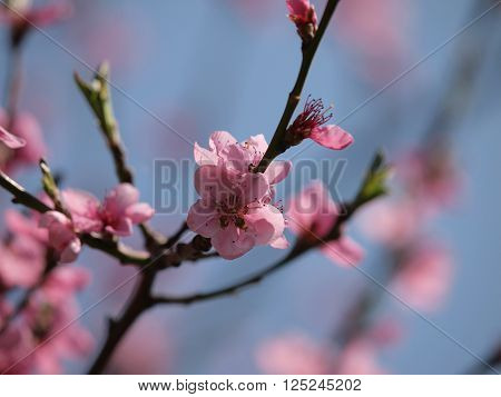 Spring time, blossom of a peach tree