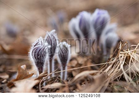 tender first spring March flowers lilac blue pasque-flower, snowdrop