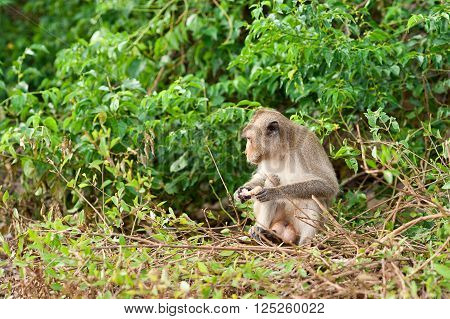 Monkey waiting for and looking for chance to stolen food in an island of andaman sea thailand. Lipe island.