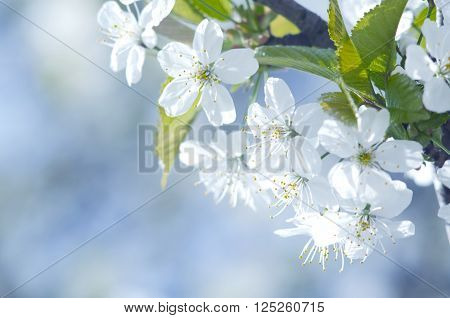 Spring beautiful blossoming apple-tree or cherry branches. Spring branch of a tree with blossoming white small flowers on a background of blue sky and green leaves. Springtime background. Close up.
