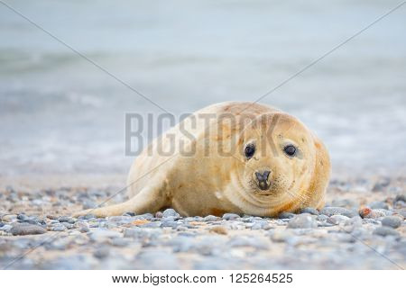 Young atlantic Grey Seal, Halichoerus grypus, detail portrait, at the beach of island Helgoland, Dune, Germany in spring ** Note: Visible grain at 100%, best at smaller sizes
