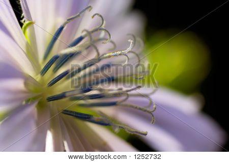 Close-Up Of Common Chicory (Cichorium Intybus) Flower