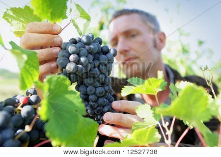 Man watching a bunch of grapes