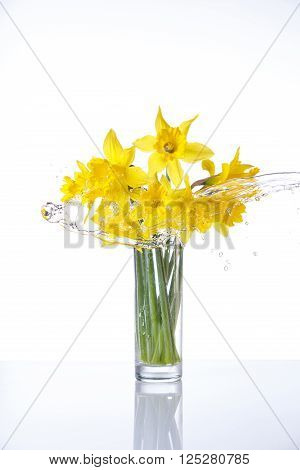 narcissus isolated on white background, summer flowers in glass with splashes of water, with reflection