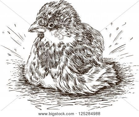 Vector drawing of a city sparrow in a spring puddle.