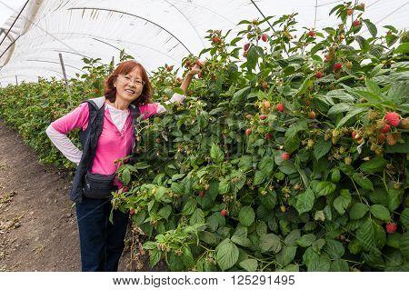 Asian senior enjoy picking ripe strawberries in farm.