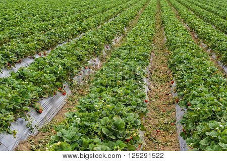 Fresh ripe strawberries in field reading for harvesting.