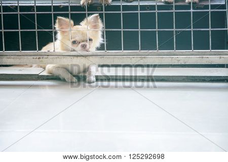 Vintage Style Pitiful Chihuahua Dog Sitting In Cage