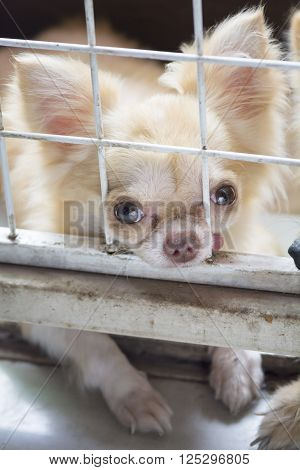 pitiful small body brown chihuahua dog sitting in cagehe need free to coming into house