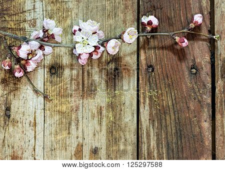 Spring background: apricot branch with flowers and buds blooming on a rough wooden background. Floral background: close-up image with selective focus and copy-space.