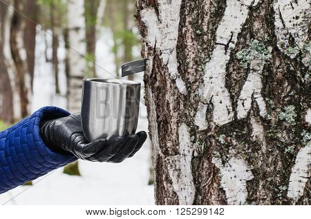 The extraction of birch SAP. mug in female hand attached to a birch tree to collect birch SAP