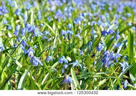 Siberian Squill (Scilla siberica) blue spring flowers close-up ** Note: Shallow depth of field