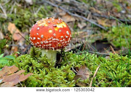 Colourful red toadstool in the forest. Mushroom Amanita muscaria.