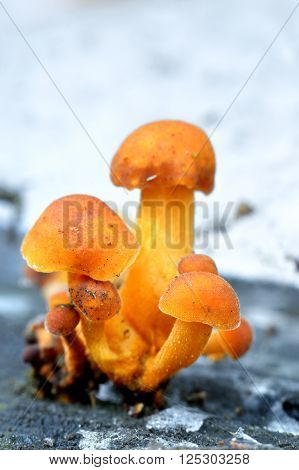 Orange mushroom group on a tree stump in the forest ** Note: Shallow depth of field