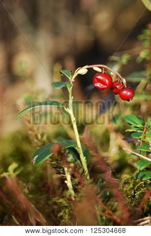 Cowberry (Vaccinium vitis) close-up in the forest