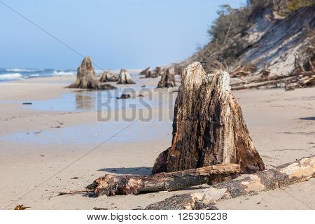 3000 years old tree trunks on the beach after storm. Slowinski National Park, Baltic sea, Poland. Unique, nature phenomenon