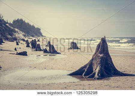 3000 years old tree trunks on the beach after storm. Slowinski National Park, Baltic sea, Poland. Unique, nature phenomenon. Vintage